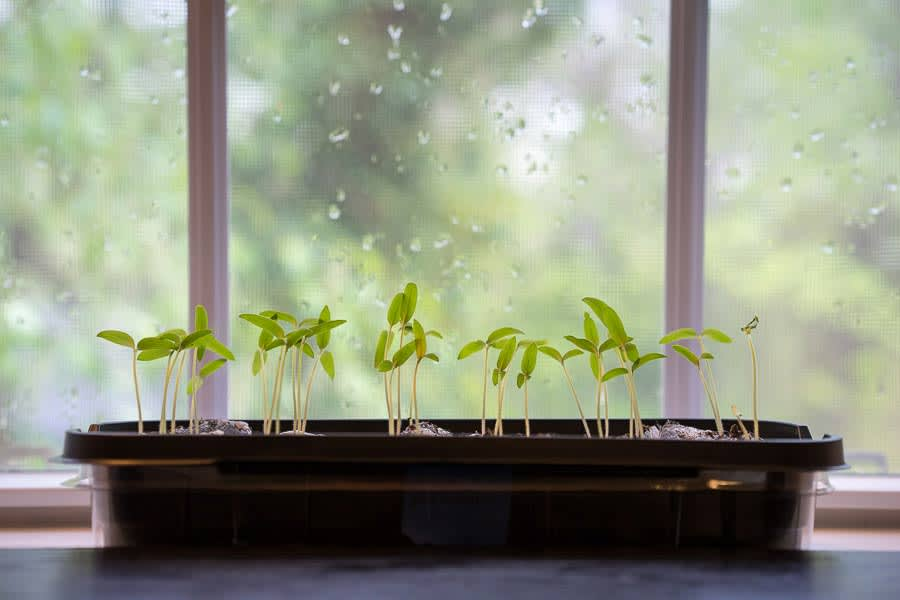 Tomato sprouts in front of a rainy window