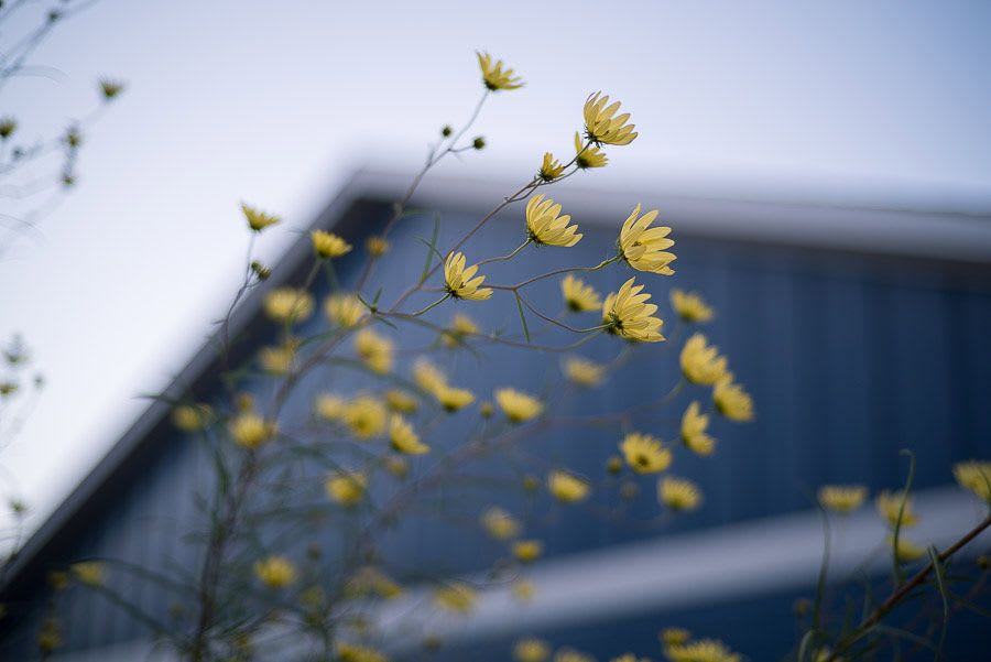Yellow flowers in front of a blue building