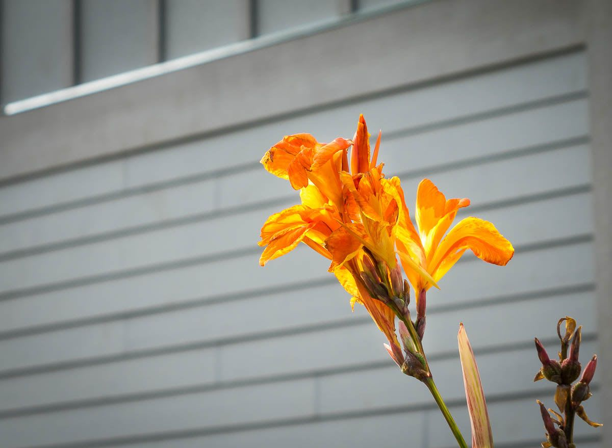 An orange-red flower in front of panels on a building