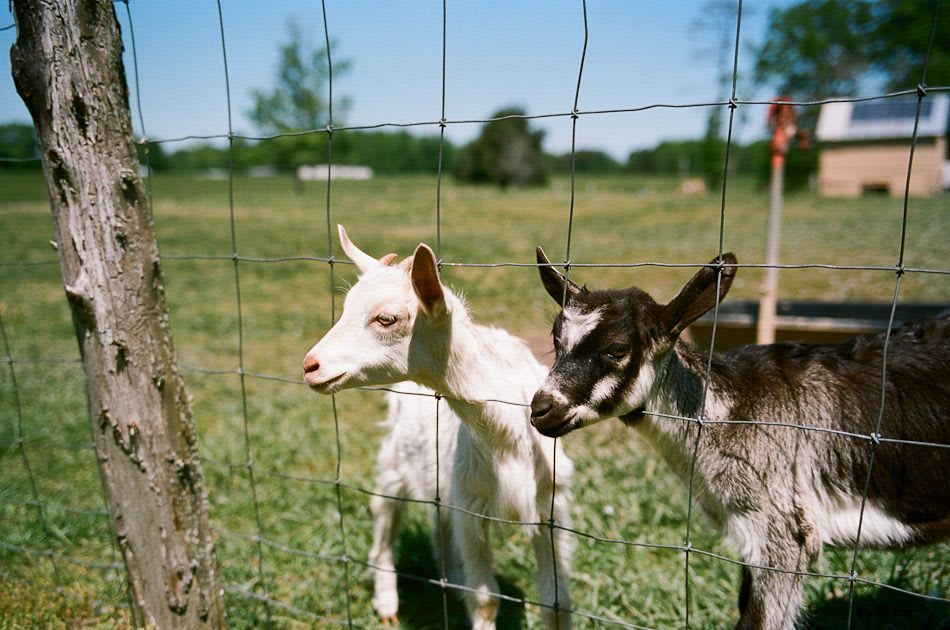 Baby goats from Elodie Farms
